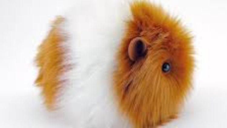 GUINEA PIG (GİNE PİG – GİNE DOMUZU) NEDİR?BAŞLICA GUINEA PIG IRKLARI HANGİLERİDİR?
